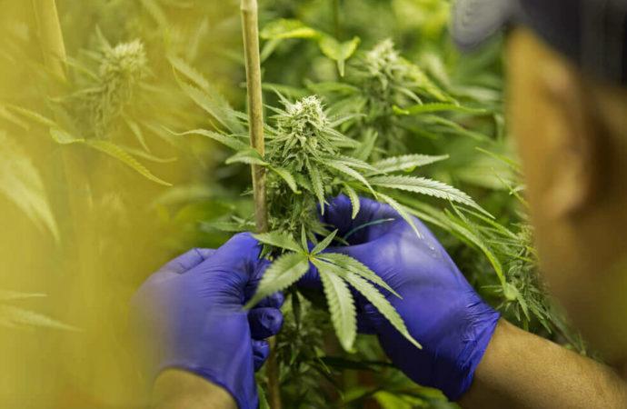 El cannabis medicinal colombiano ya cotiza en la bolsa de Canadá